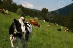 Troupeau de vaches dans la nature - Photo libre