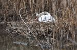 Un cygne qui ne trompe pas le printemps arrive. - Photo libre